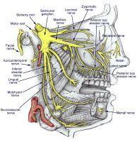 maxillary nerve V2 and the mandibular nerve - Google Search
