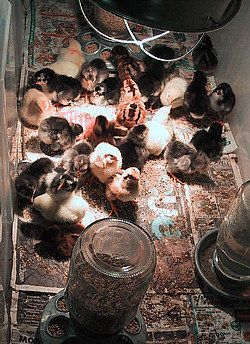 How to brood baby chicks, and a list of items to buy.............