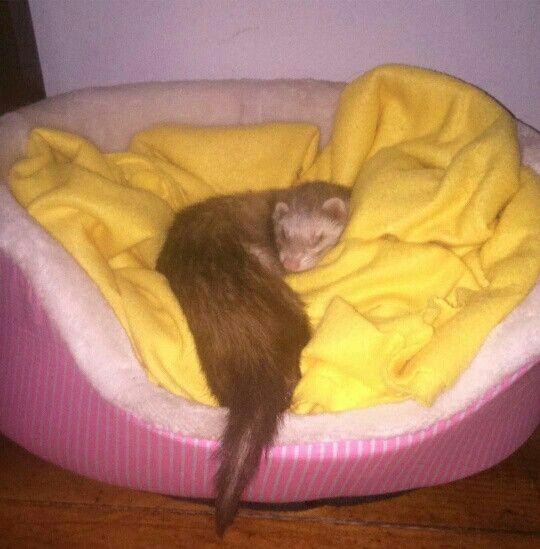 😴❤ #ferret #sleeping