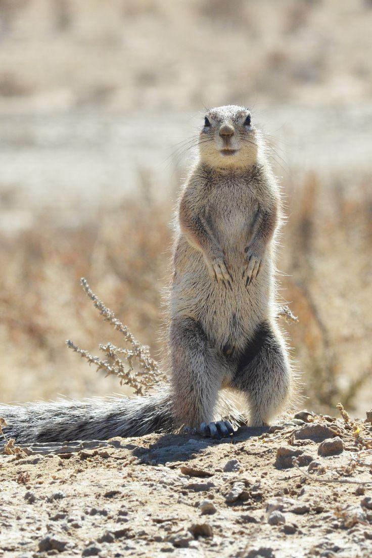 An alert ground squirrel.