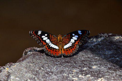 Farfalla, Insetti, Animali