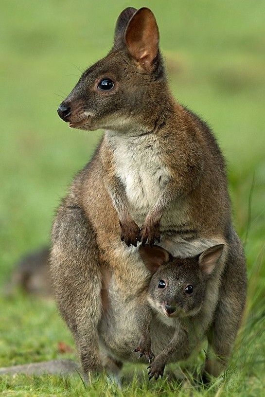 TASMANIAN PADEMELON....also known as the rufous-bellied ...