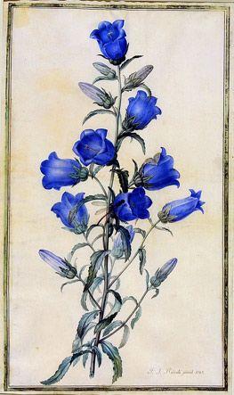 Pierre-Joseph Redouté (1759-1840) 'Canterbury Bells, Campanula medium' 1787 Watercolour on vellum Museum no. E.91-1947