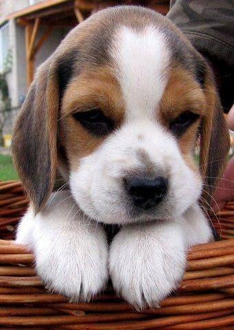 Les beagles, ce sont ces chiens en particulier qui sont utilisés comme cobayes dans les laboratoires cosmétiques et pharmaceutiques ! Pauvres chiens martyrisés... #Cutepuppies