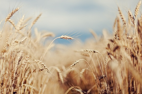 i want to plant a wheat field for pics
