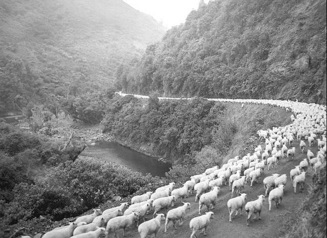 Waioeka Gorge - 2,600 sheep on the road, The Waioeka Gorge, runs inland from Opotiki towards Gisborne and it could be a scary drive in bad weather. And you often ran into huge flocks of sheep being moved down the road.....