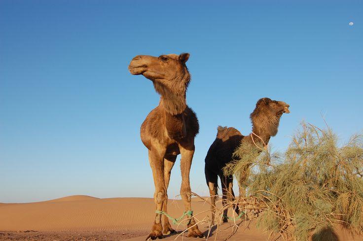 #maroko, #podroze,  #afryka, #podrozepomaroku, #trave, #morocco, #desert