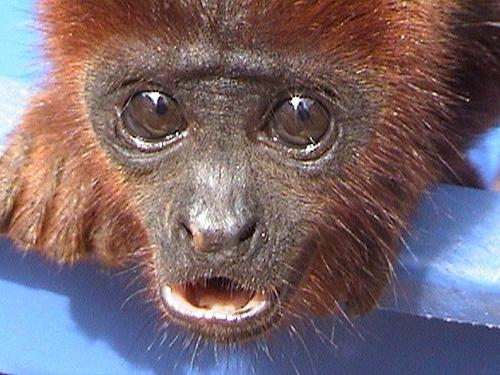 Mono Aullador Rojo Bebé Rescatado en el Centro de Rehabilitación/Rescued Baby Red Howler Monkey in our Rehabilitation Center by Fundación Ecológica Santa Fe, via Flickr