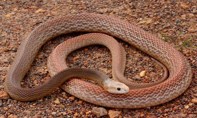 Coastal Taipan | Inland Taipan Snake