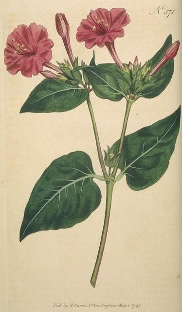 Mirabilis Jalapa / Bunga Ashar
