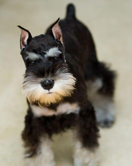 black and silver miniature schnauzer puppy                                                                                                                                                                                 More