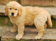 Free Jigsaw Puzzles Online - GOLDEN RETRIEVER  #Game #JigsawPuzzle #Puzzle