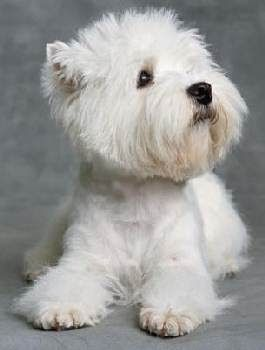 Magnificent Westie..pure show dog quality.