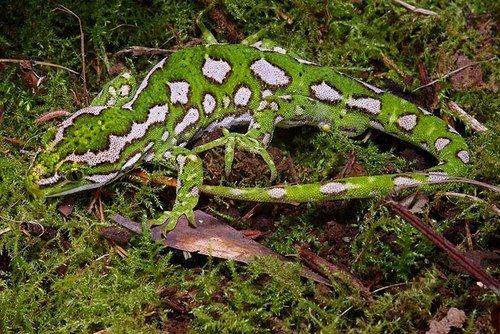 Jewelled Gecko, Naultinus gemmeus, is a species of gecko endemic to the South Island of New Zealand.