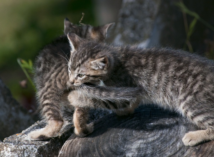 coppia di gattini che giocano in giardino (foto Icastico)