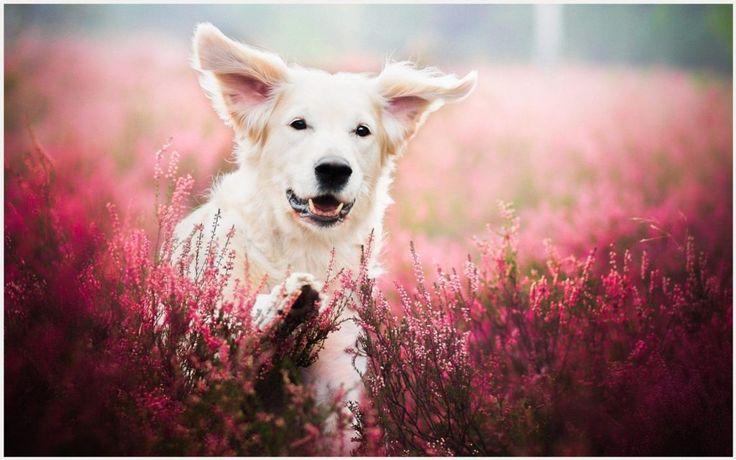 Dog Face In Flower Field Wallpaper | dog face in flower field wallpaper 1080p, dog face in flower field wallpaper desktop, dog face in flower field wallpaper hd, dog face in flower field wallpaper iphone