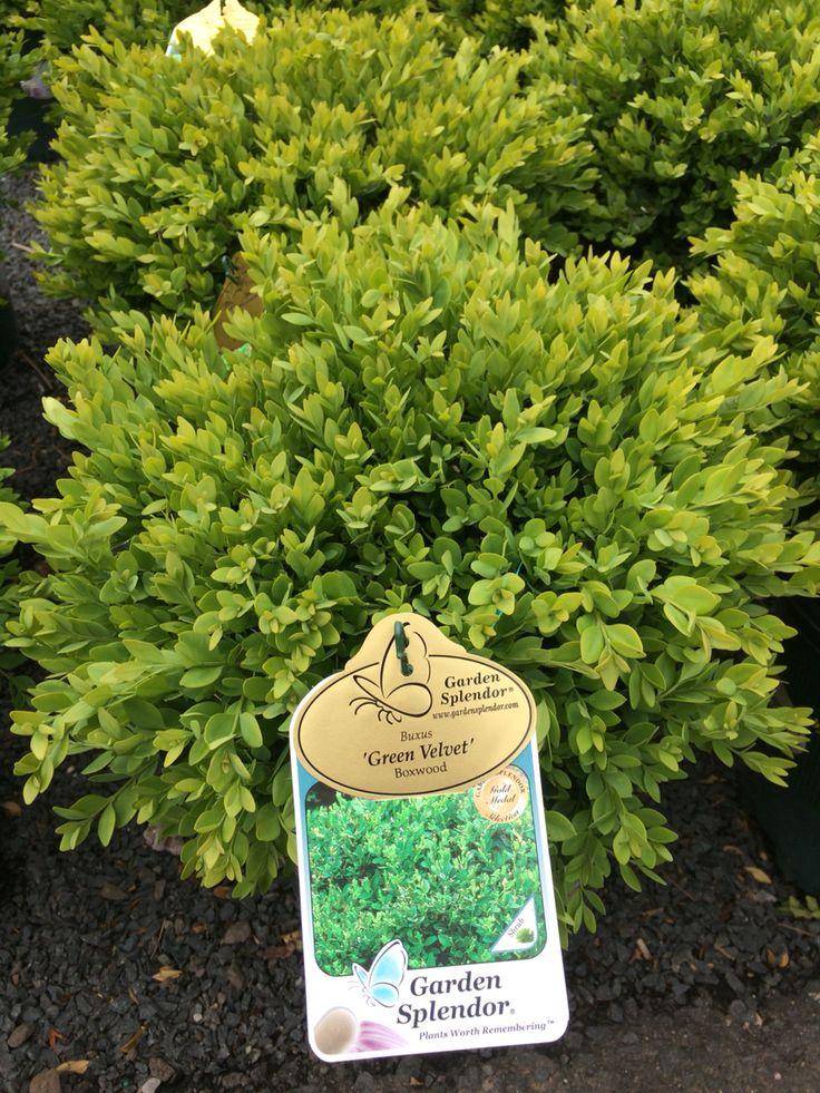 Green velvet boxwood                                                                                                                                                                                 More