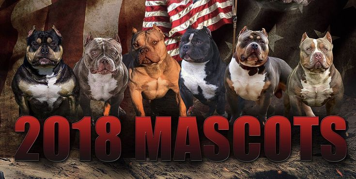 Sneak Preview: Issue No. 11 The 2018 Official BULLY KING Magazine Mascots @texassizebullies @ty_lumley @tushaylassiter @abpk_glenn @gymratpocketbullys BULLY KING Magazine   Your Source For The American Bully Breed App Available in iTunes App Store & Google Play The Bully Bible- On Sale Now www.bullykingmagazine.com  #americanbully