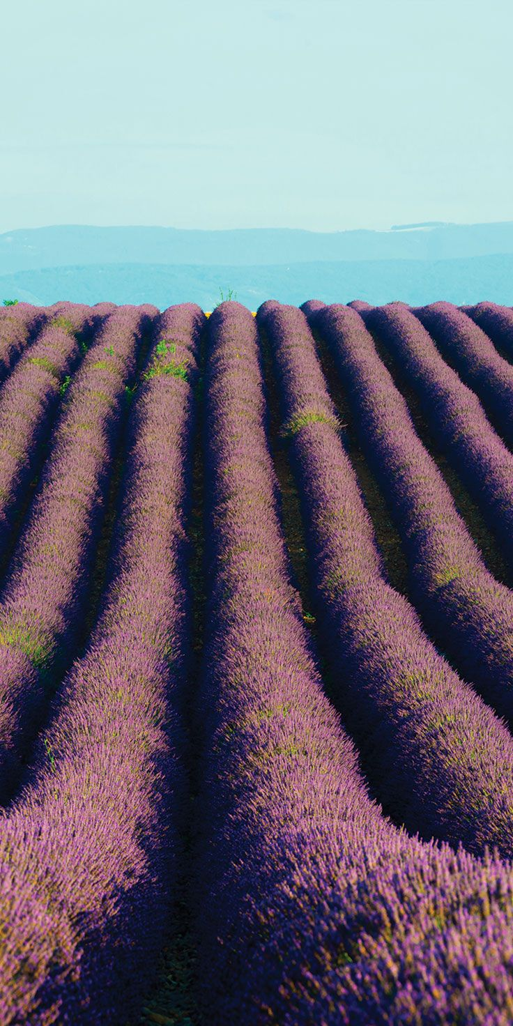 Lavender fields as far as the eye can see in Provence - by Lauren Bath