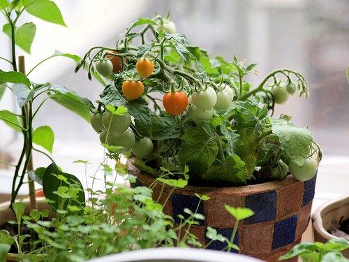 Looking For The Best Tomato Varieties For Your Patio? If You Only Have Room  To