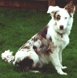 red+merle+tri+color+border+collie | Different Looks of the BC
