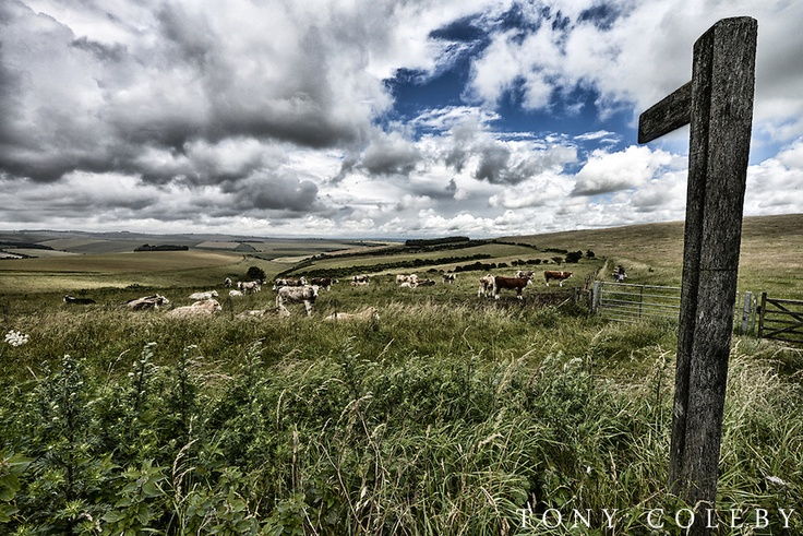 """Cows on the Downs"" Woodingdean, East Sussex, 2012) 84788h"