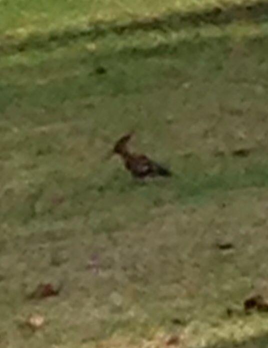My African Hoopoe is back in my garden