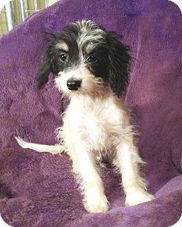 Lawrenceville, GA - Poodle (Miniature)/Chihuahua Mix. Meet Bandit, a puppy for adoption. http://www.adoptapet.com/pet/15717035-lawrenceville-georgia-poodle-miniature-mix