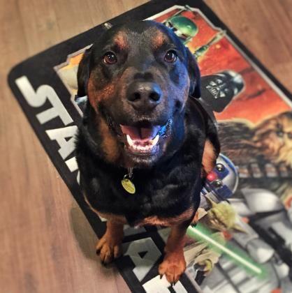 Petango.com - Meet Duke (Gator), 6y Rottweiler / Mix available for adoption in MCKINNEY, TX