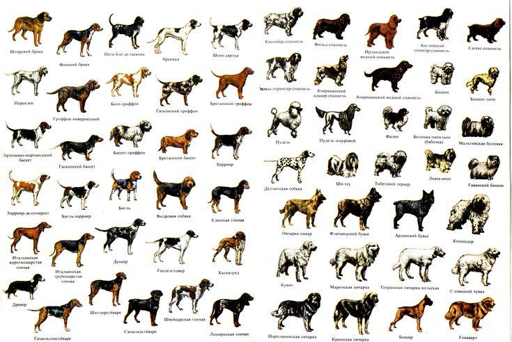 Обзор всех пород собак, утвержденных ФЦИ (с изображениями ...