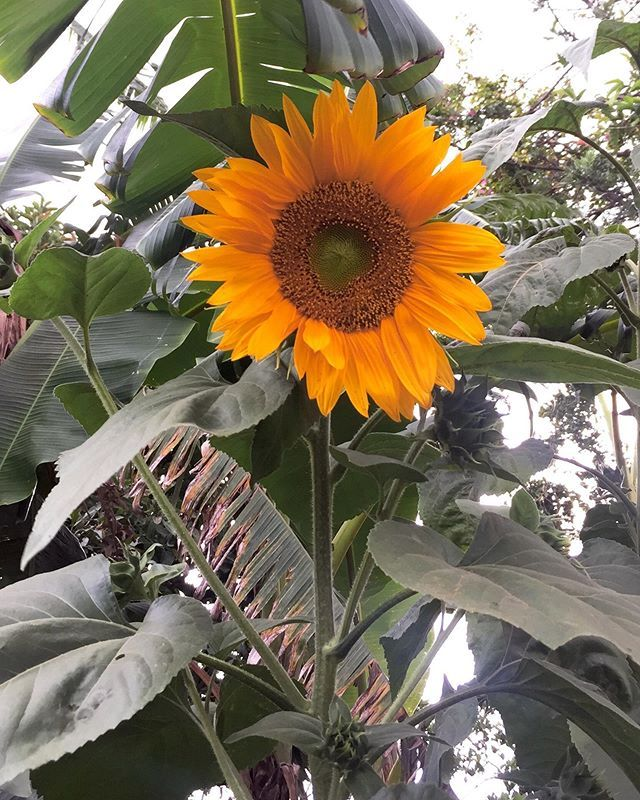 Comment Your Feeling After Seeing Sunflower To Be Featured Please Follow Risingjunkiri Tag Risingju Instagram Sunflower Feelings