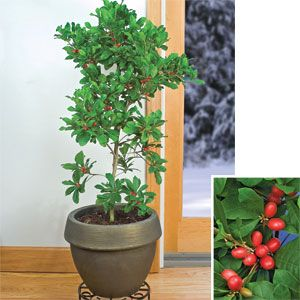 miracle fruit!!!!: Gift, Sweet, Miracle Fruit, Fruit Synsepalum, Gardening Plants Patio, Fruits, Fruiting Plants