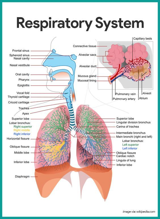 Respiratory System Anatomy and Physiology | Nursing school