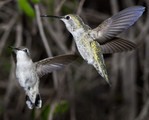 essay on hummingbirds Hummingbirds essay hummingbirds male hummingbirds are the tiniest warm-blooded animals on the planet females need to be a tiny bit bigger to.