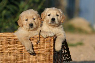 Elevage de chien golden retriever - Chiot golden retriever