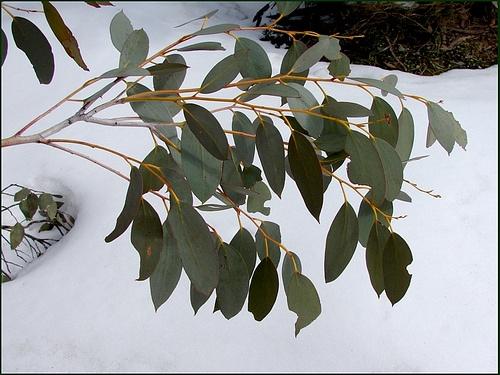 Snow Gum leaves by Tatters via Flickr