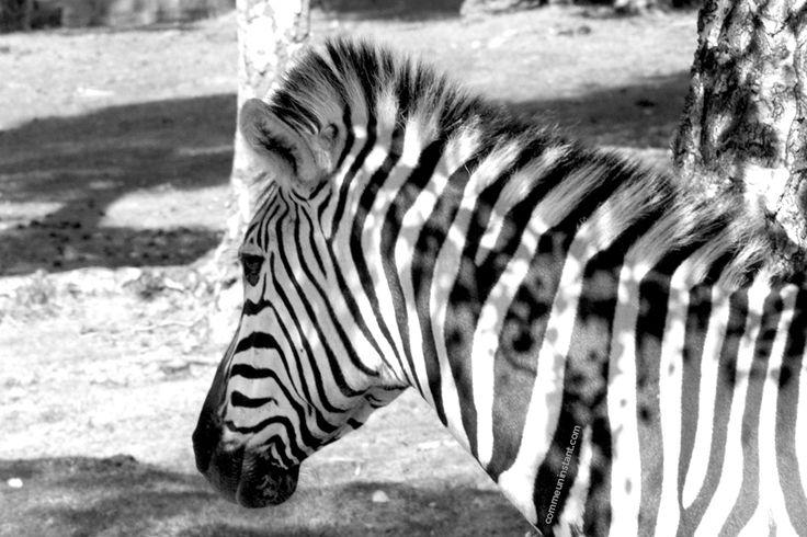 Animaux  * Zèbre http://www.commeuninstant.com/galerie/faune-et-flore/animaux/jardin-animalier