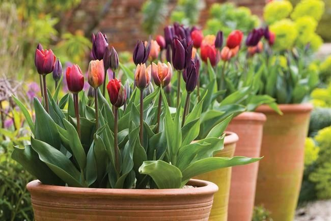 Create beautiful bulb displays in your pots by layering bulbs in a bulb lasagne – perfect for tulips, narcissus, crocus and hyacinths.
