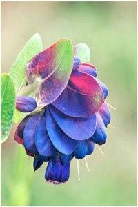 Known as the Blue Wax Flower, Blue Shrimp Plant or the Blue Honeywort, Cerinthe comes from the Greek word keros???wax, and anthos???a flower. This plant has been considered an important nectar source for honeybees and other insects. The Cerinthe genus is originally from the Mediterranean region, so the plant does well in our spring/summer