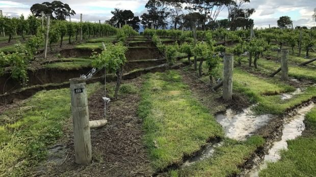 Bill ✔️  Burkhart Estate owner Trevor Burkhart said around 30 rows of grapevines need replacing because of earthquake damage. A massive M7.8 earthquake hit Kaikoura, New Zealand on 14 November 2016.    Bill Gibson-Patmore.  (curation & caption: @BillGP). Bill😄✔️