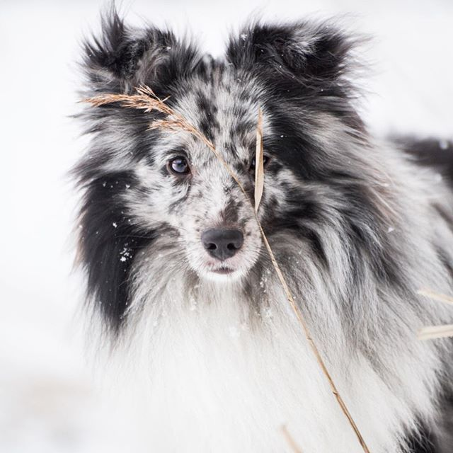 I was really annoyed at the grass at first, but now i'm starting to like it💛 what do you think?  .  .  .  #sheltiesofinstagram #sheltie #norway #teamcanon #biblue #bluemerle #canon #tamron #dogsofinstagram #winter #snow #hundinorge #bestwoof