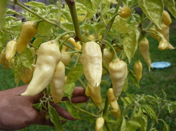 Devil's Tongue White -Capsicum Chinense -Very Hot-125,000 ~ 325,000 SHU !