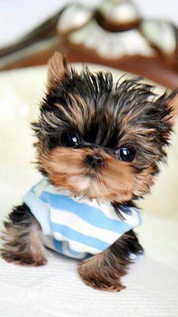 Vous aimez les tout petits chiens ? Alors, vous allez être servis ! Déjà, les chiens sont mignons. Surtout quand ils sont très jeunes. Mais certains sont tellement minuscules, qu'on ...
