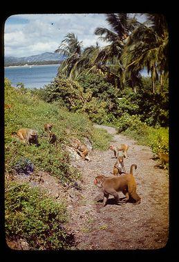 Monkey Island, Cayo Santiago, Puerto Rico
