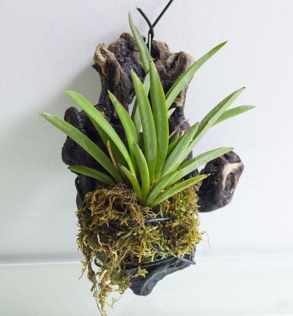 As 524 melhores imagens em orquideas no pinterest for Cuidados orquideas interior