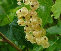 Ribes rubrum 'Lepaan valkea', Vita vinbär. FinE-sort.  Höjd: 1-1,3 m.  Upprättväxande.  Söta, vackra och stora bär.  Utmärkt att äta direkt från buske. Zon V.