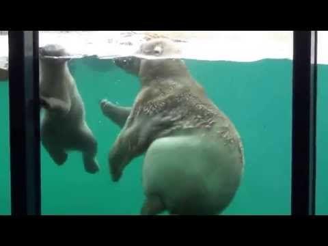 Diergaarde Blijdorp - ijsberen lekker ravotten en spelen - YouTube