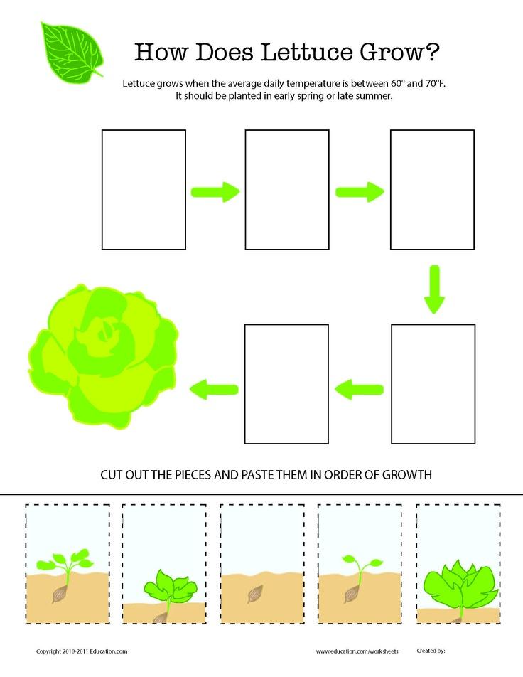 how does it grow lettuce lettuce worksheets and kindergarten. Black Bedroom Furniture Sets. Home Design Ideas