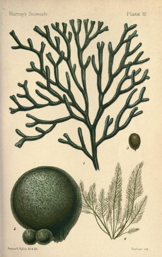 1895 - An introduction to the study of seaweeds, by George Murray - via Biodiversity Heritage Library
