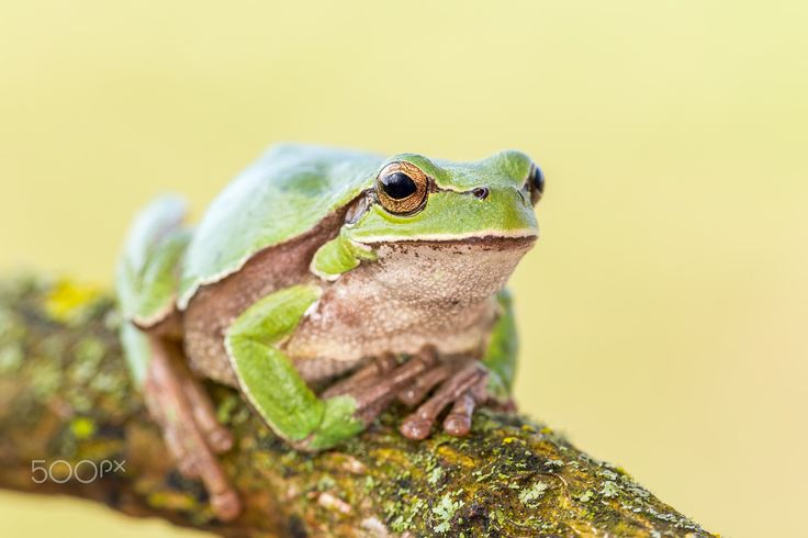 Patiently waiting - Oriental tree frog (Hyla orientalis)
